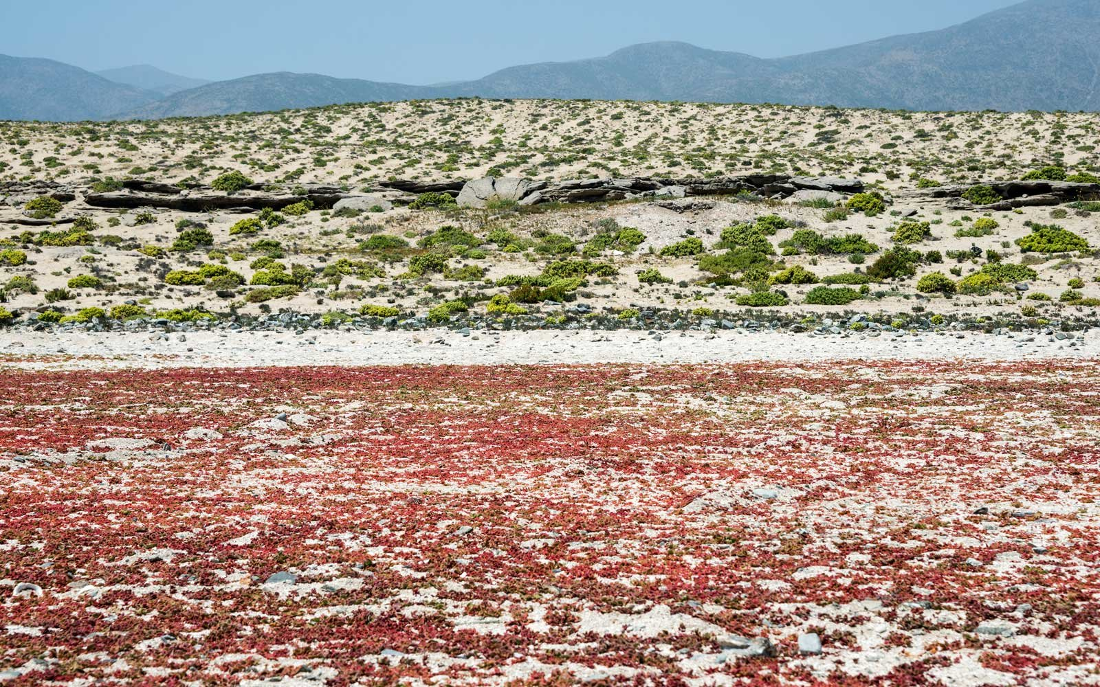 Red Flowers in the Atacama Desert