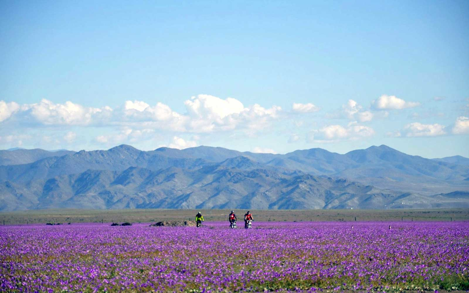Bikers Ride Through Blooming Atacama Desert