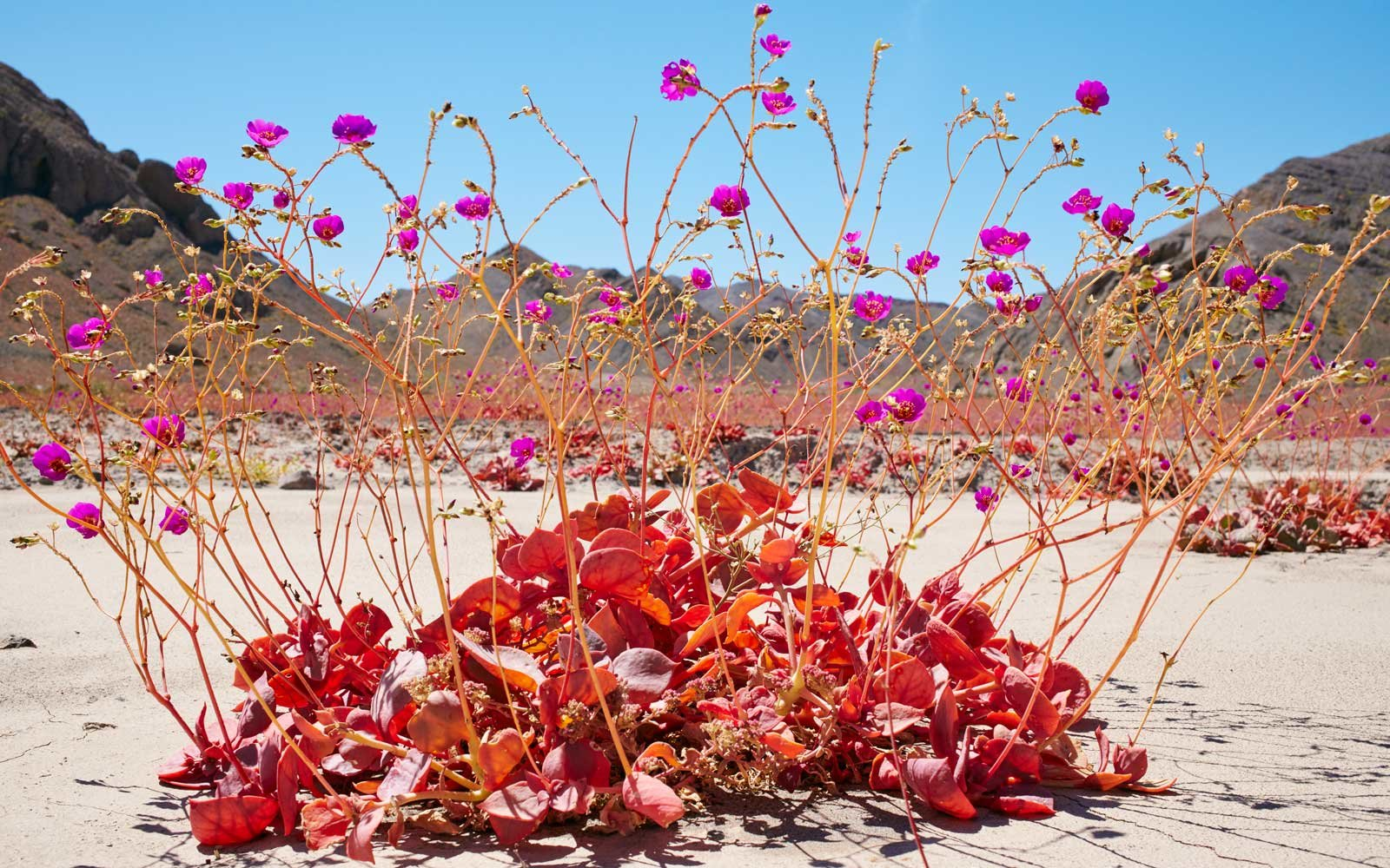 Rare Blooming of Desert Flowers in Chile