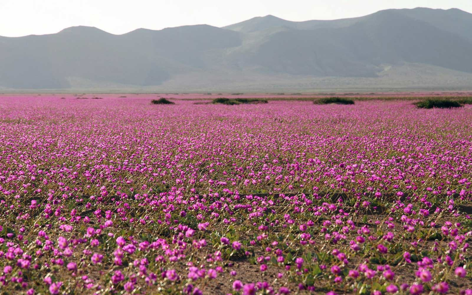 Purple Flowering Desert in Chile