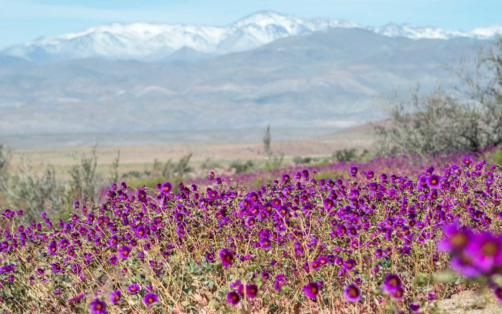 El Nino Brings Flowers to the Atacama Desert, Chile