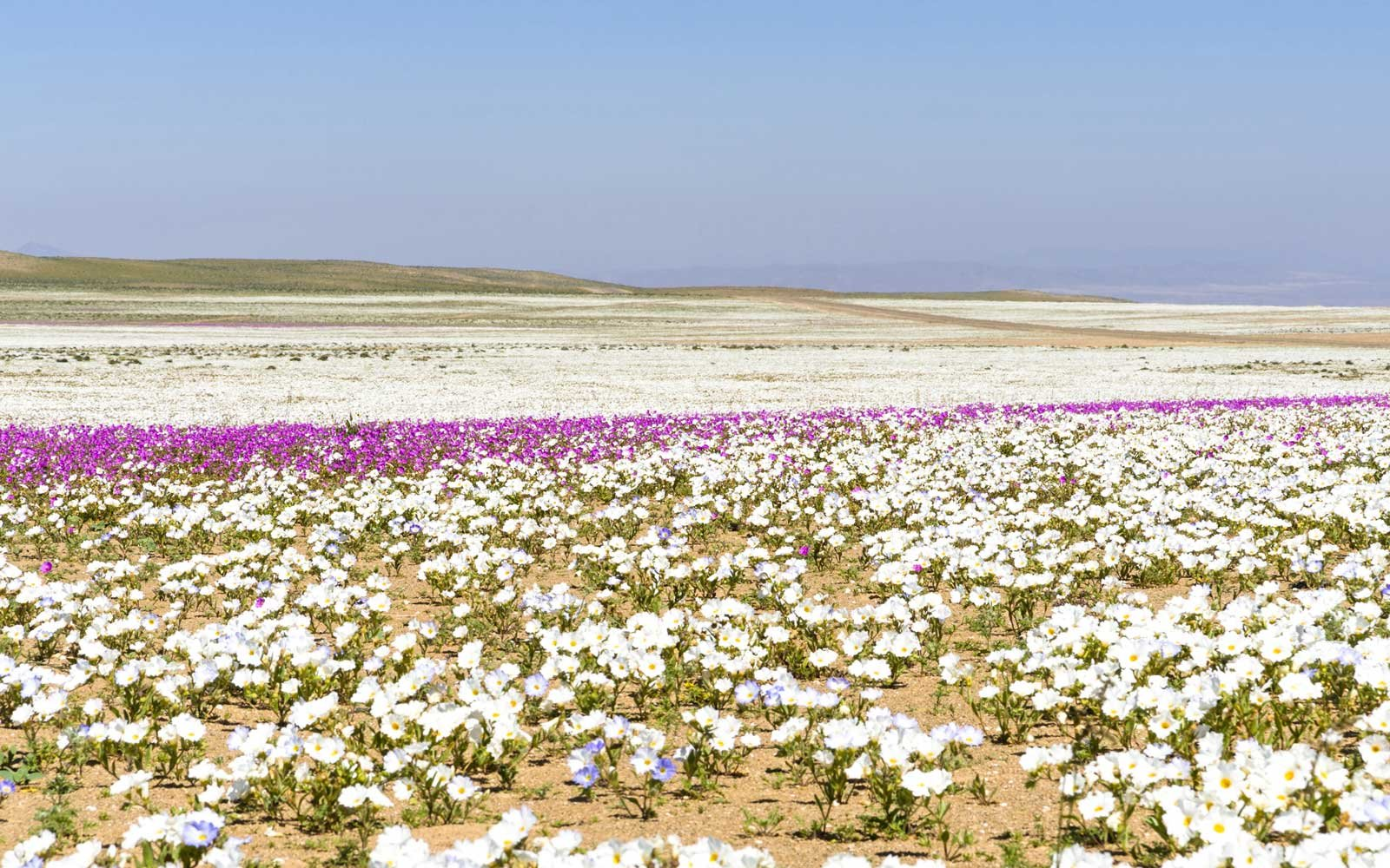 Flower Beds in the Atacama