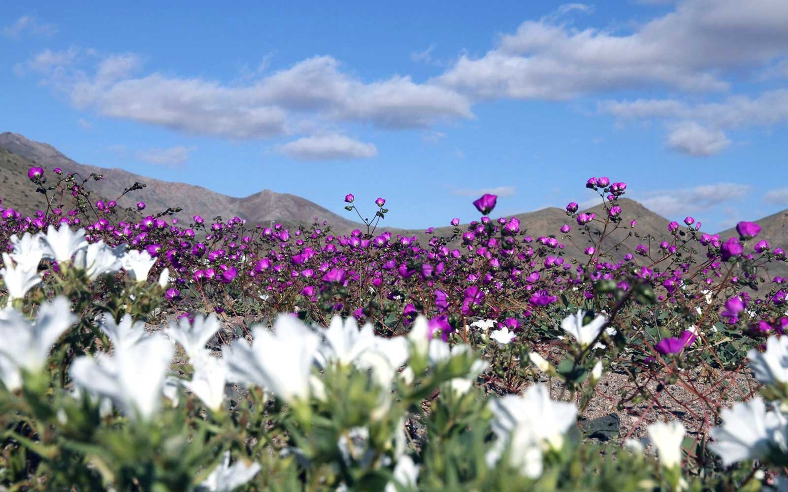 White and Purple Flowers in the Atacama Desert