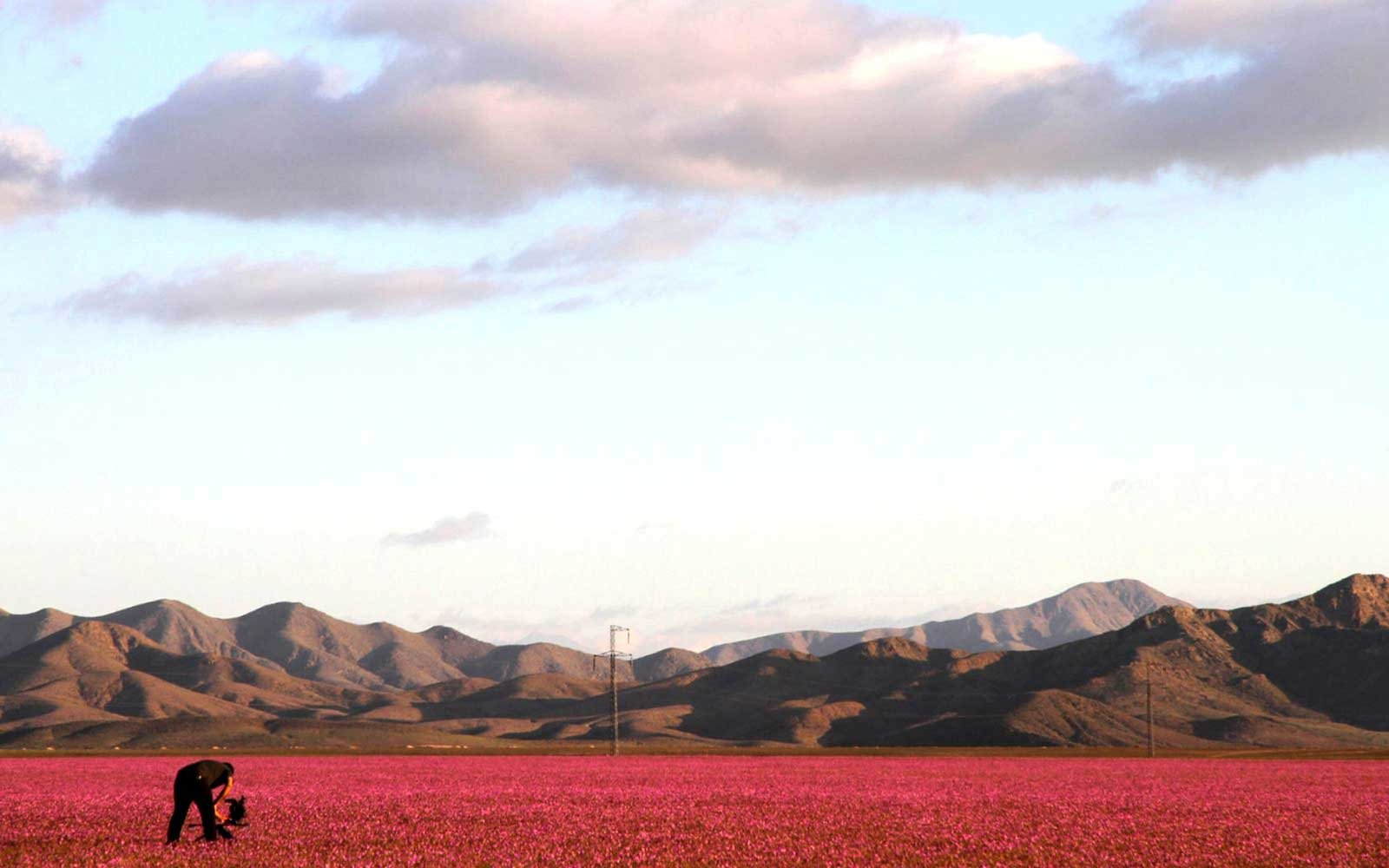 Man Looking at Desert Flowers in Chile