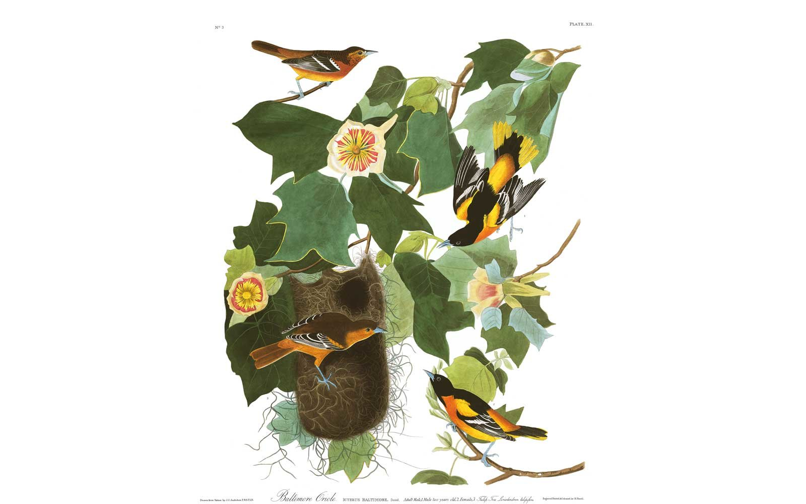 Audubon Birds of America - Baltimore Oriole