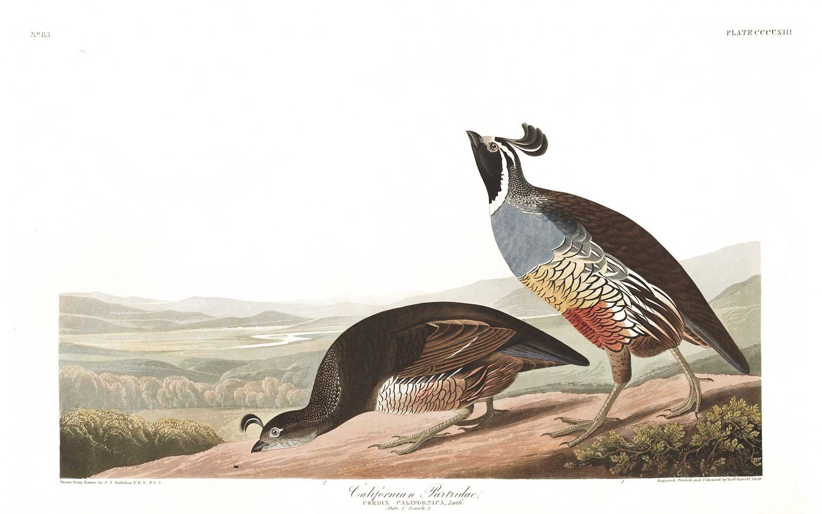 Audubon Birds of America - California Partridge