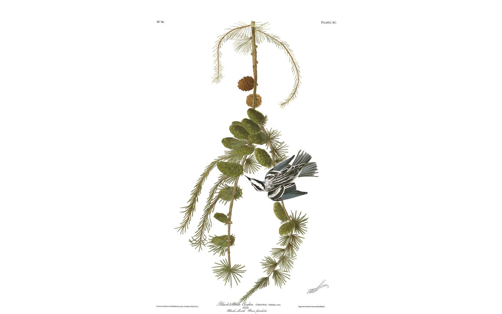 Audubon Birds of America - Black and White Creeper