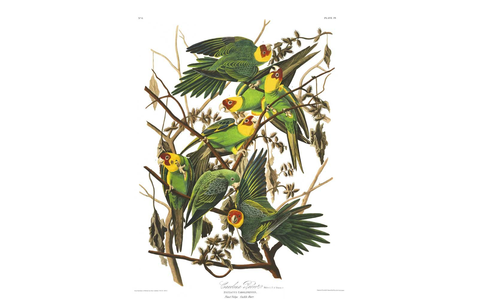 Audubon Birds of America - Carolina Parrot