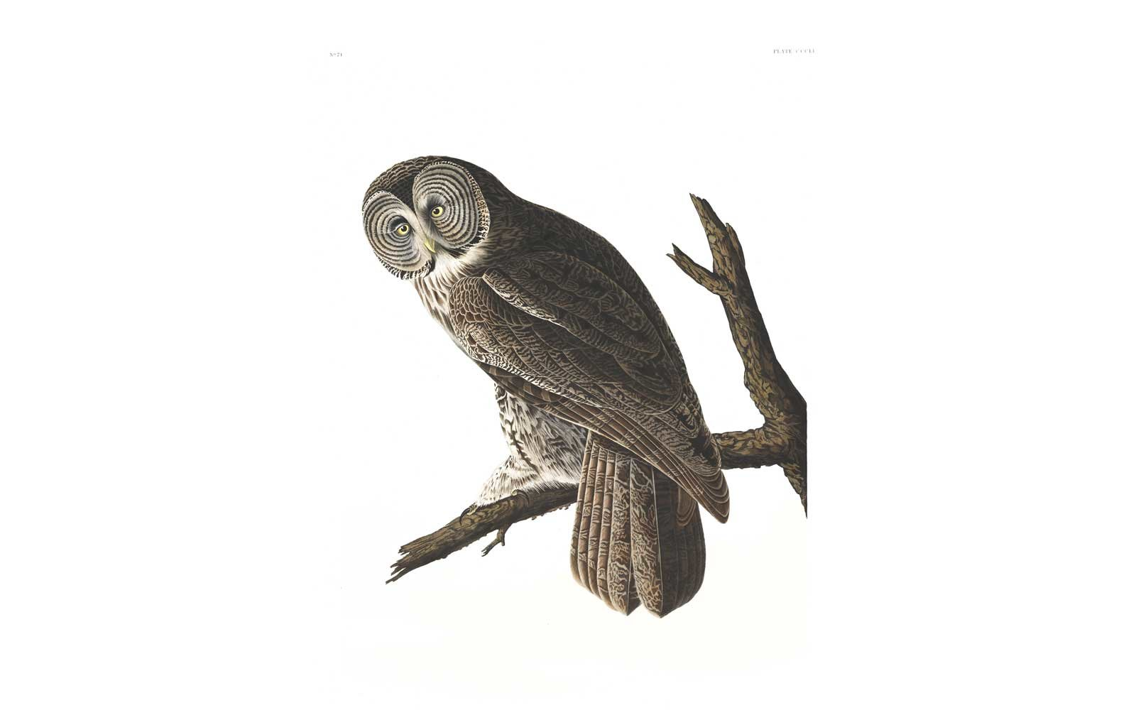 Audubon Birds of America - Great Cinereous Owl