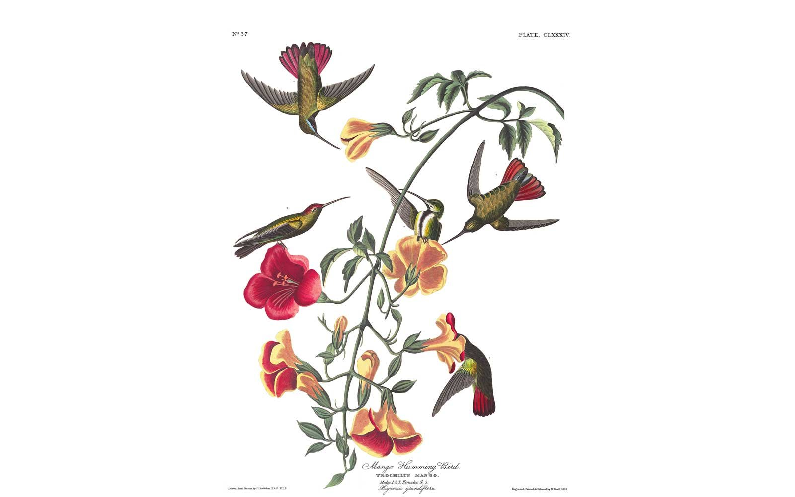 Audubon Birds of America - Mango Hummingbird