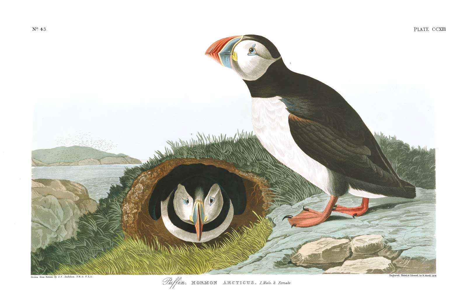 Audubon Birds of America - Puffin