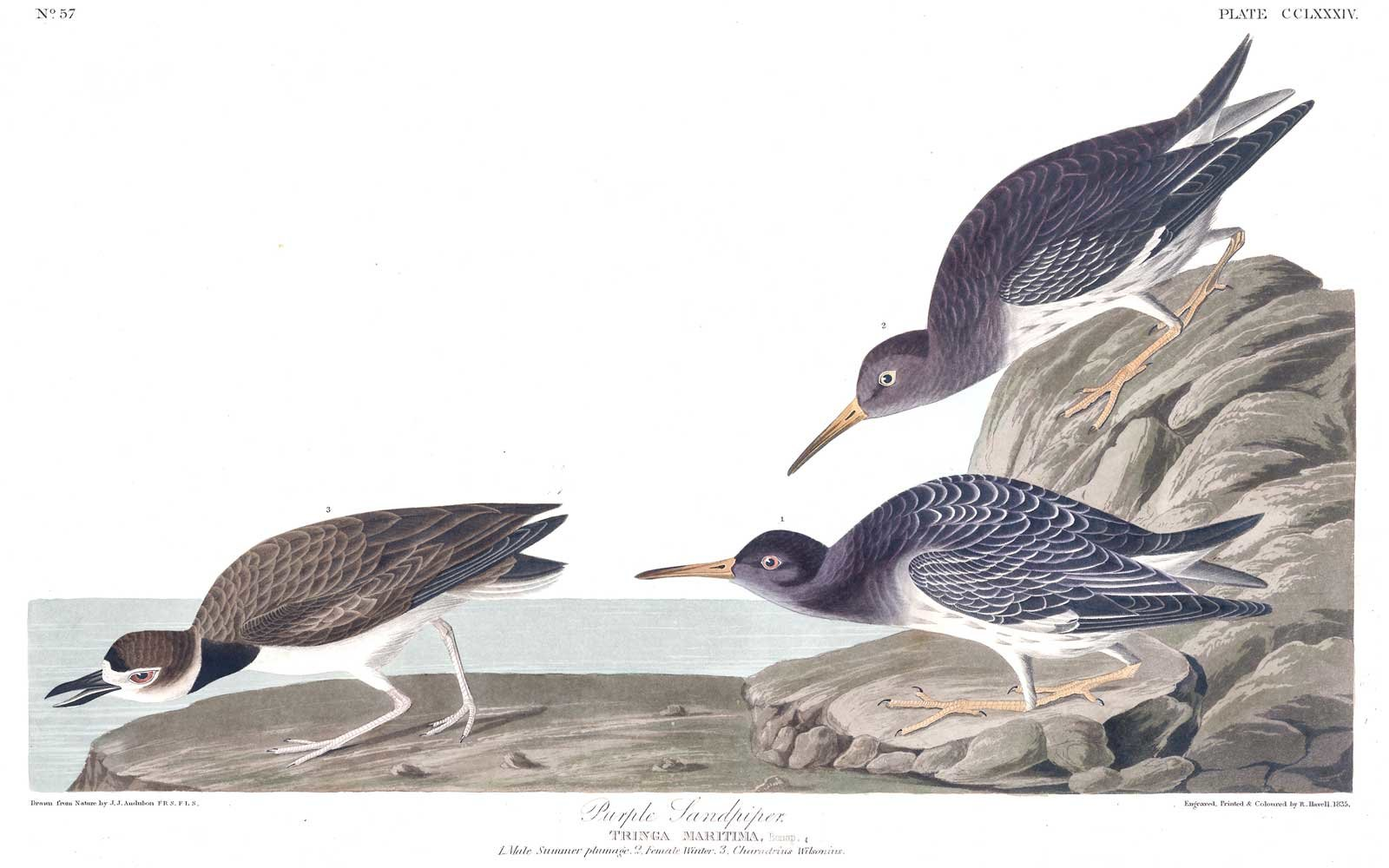 Audubon Birds of America - Purple Sandpiper