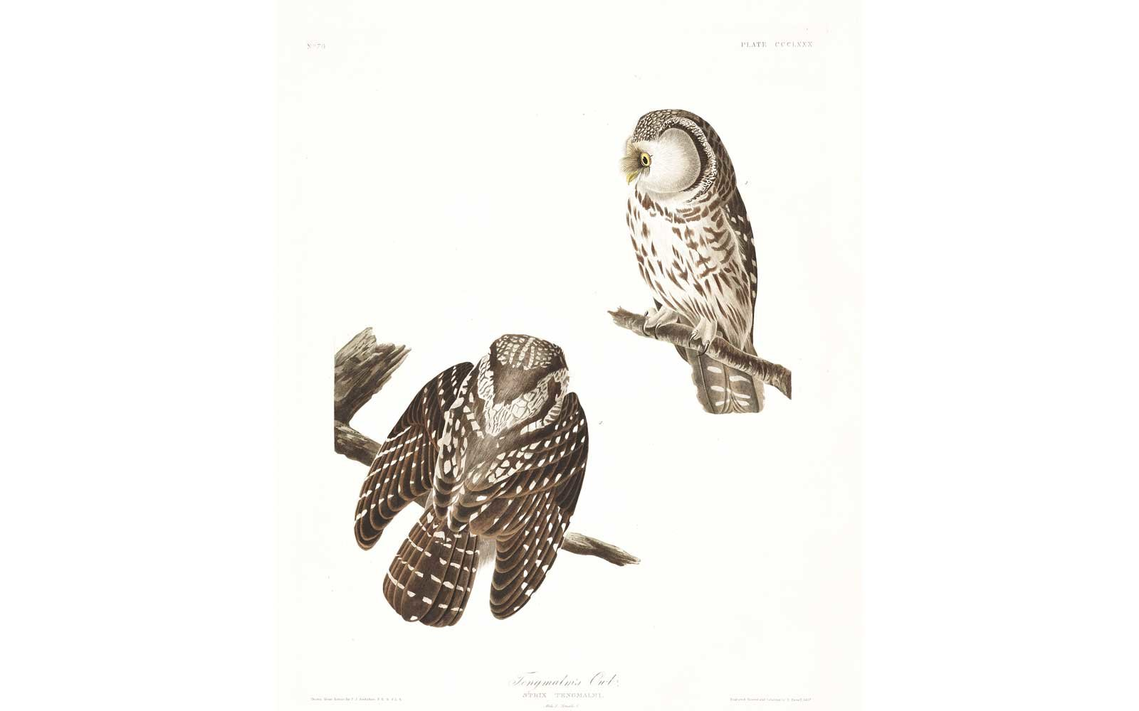 Audubon Birds of America - Tengmalms Owl