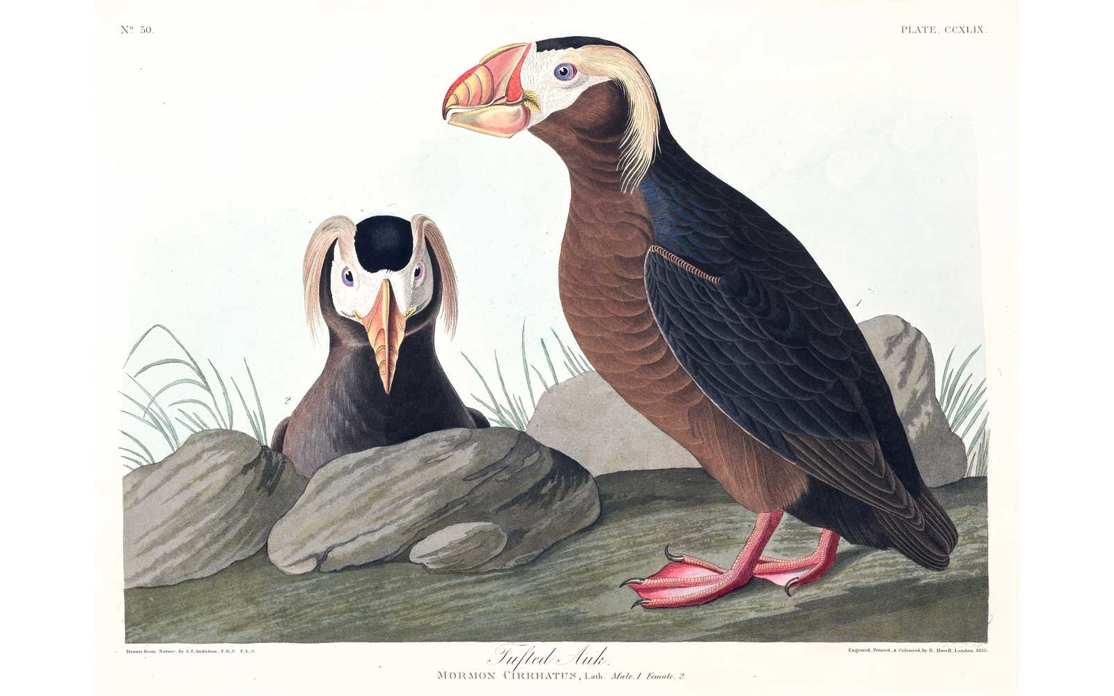 Audubon Birds of America - Tufted Auk