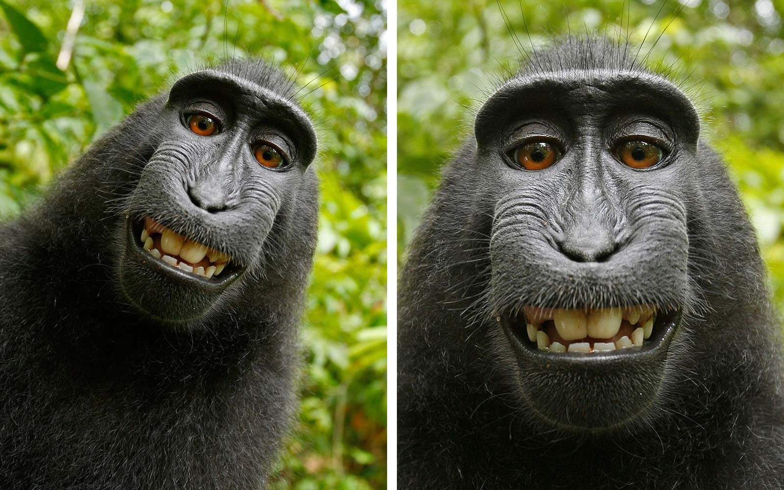 PETA David Slater photographer Naruta macau monkey photo selfie copyright