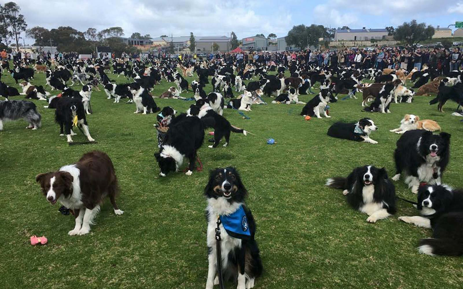 Border Collie Dog Breed World Record Adelaide South Australia