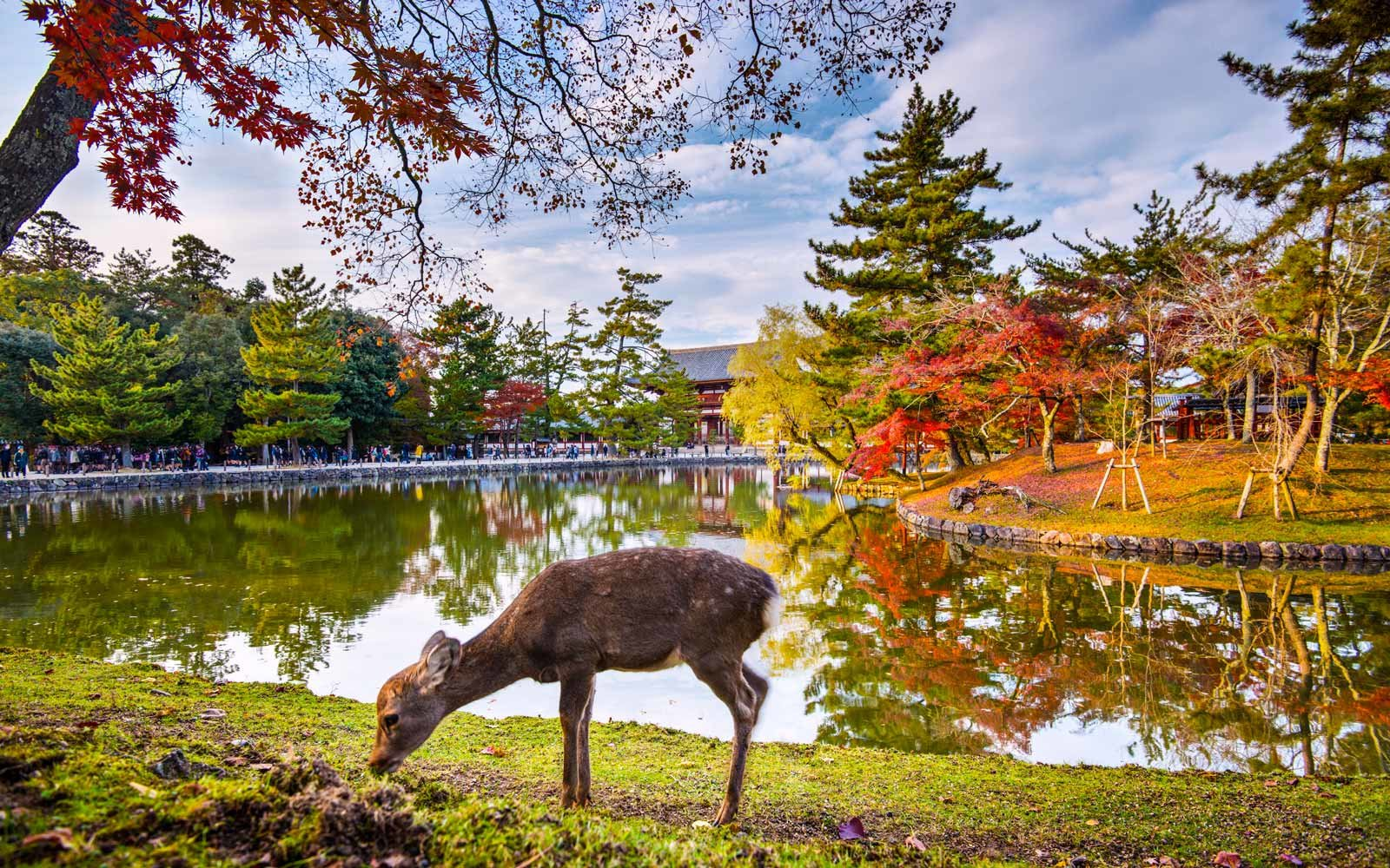 Deer grazes near Todai-ji Temple in Nara, Japan.