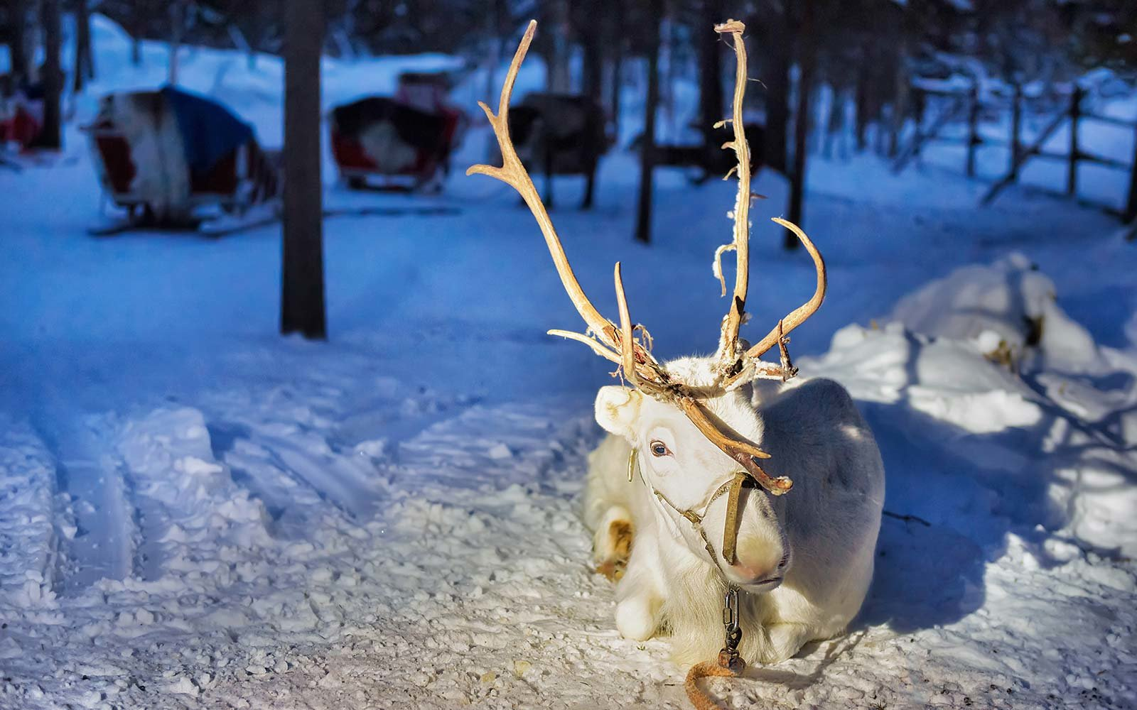 Unique Winter Snow Activities Reindeer Safari Finland