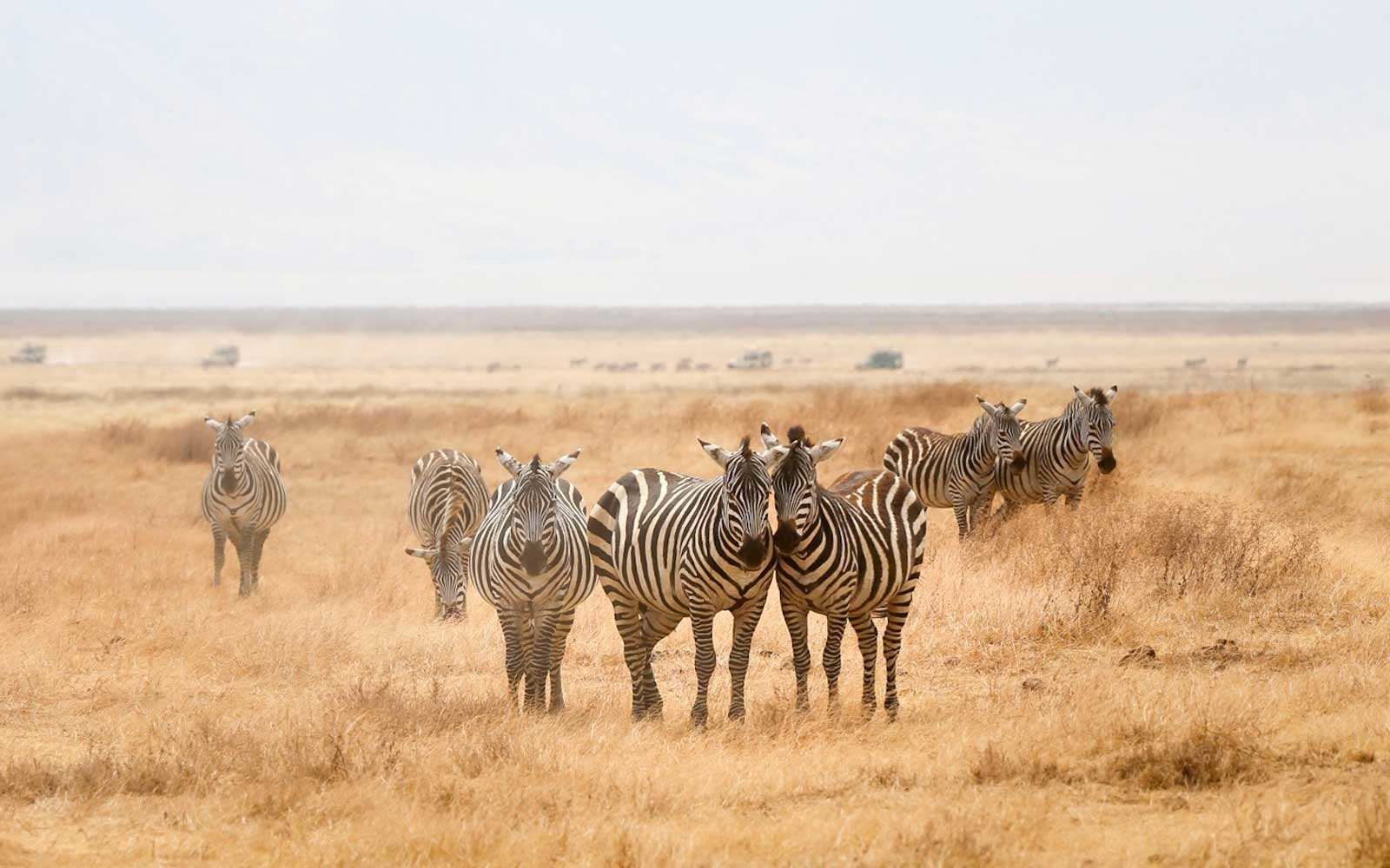 safari-zebra-herd-PHOTOCONEDPIC1017.jpg