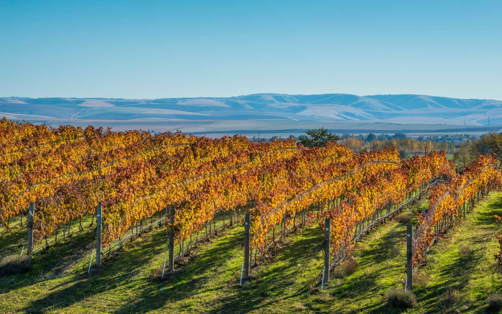 Grape vines in Walla Walla, Washington, looking toward the Blue Mountains