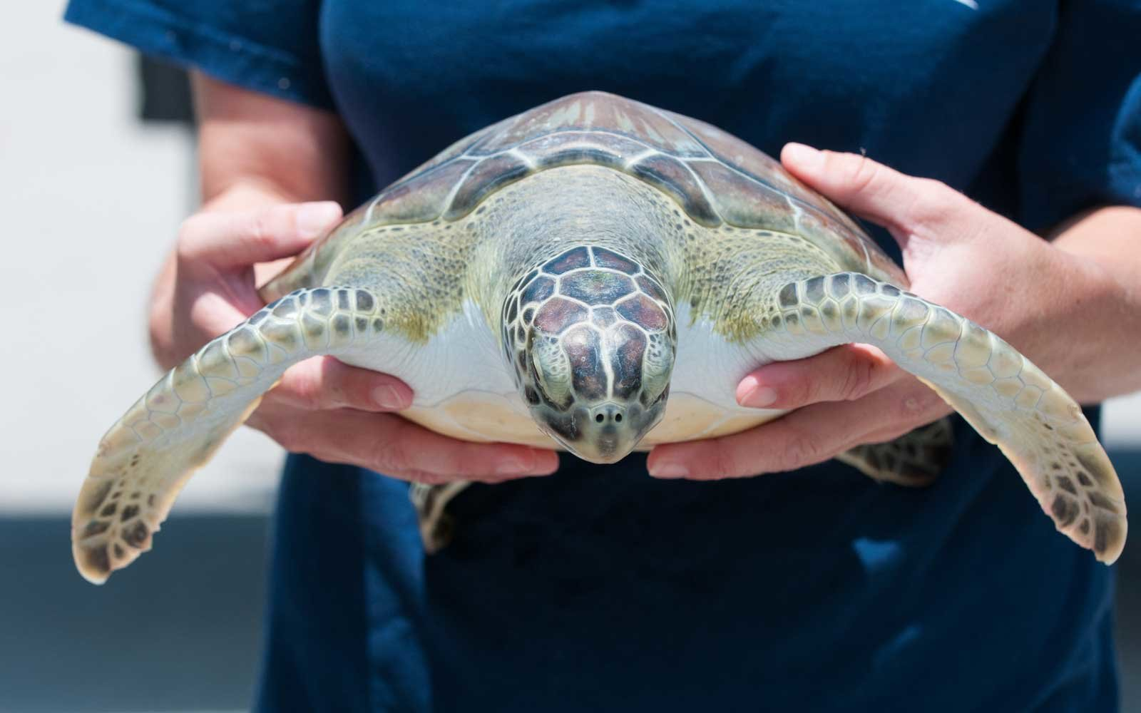 Save the Sea Turtles in Costa Rica