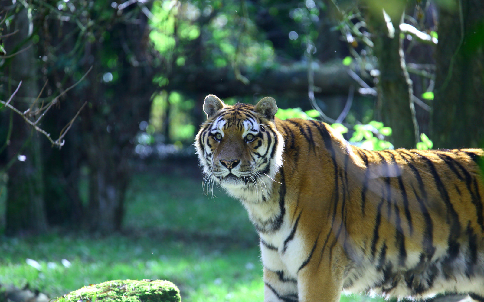 A Tiger at Port Lympne Reserve.