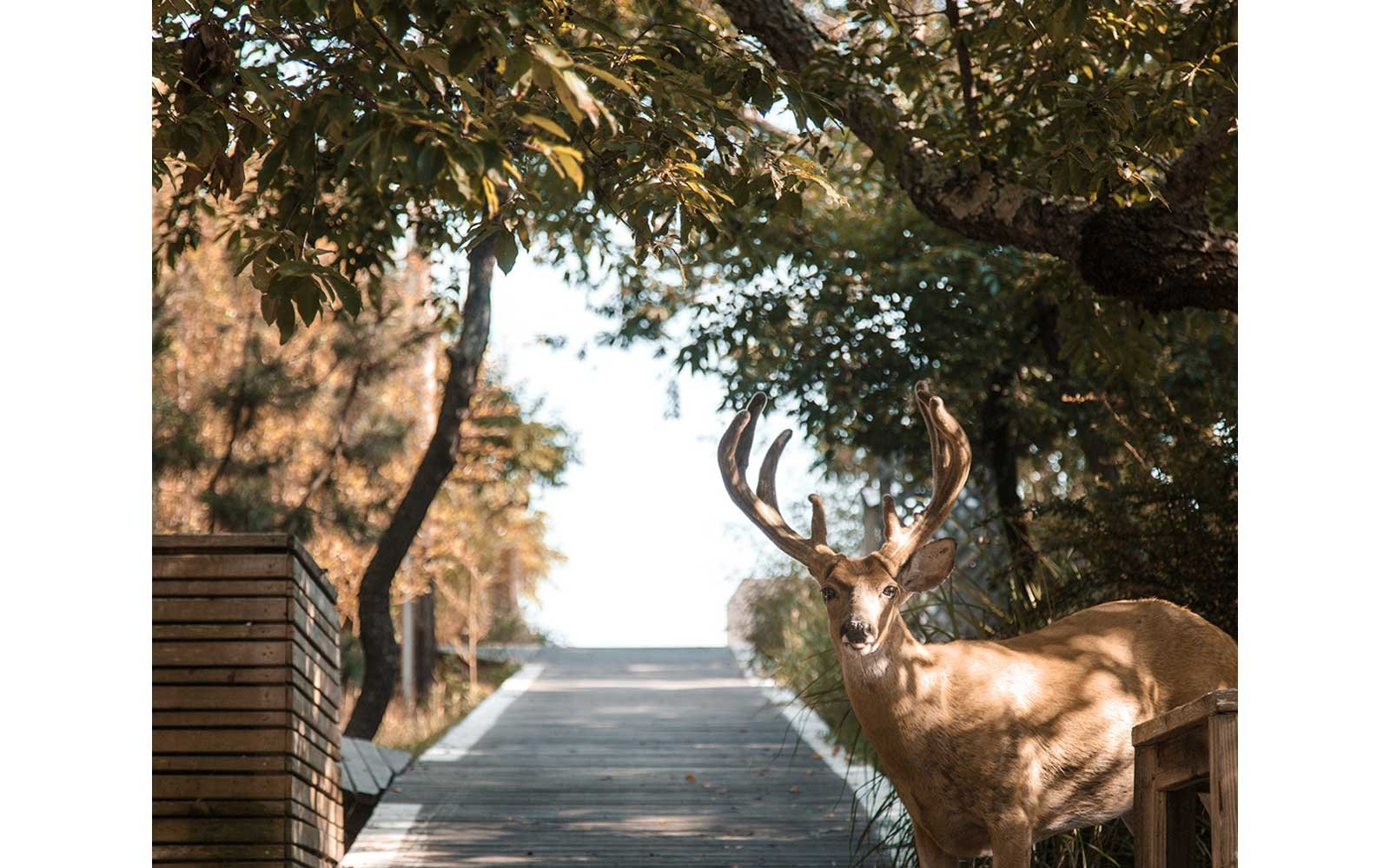 A deer on the road at Fire island, New York