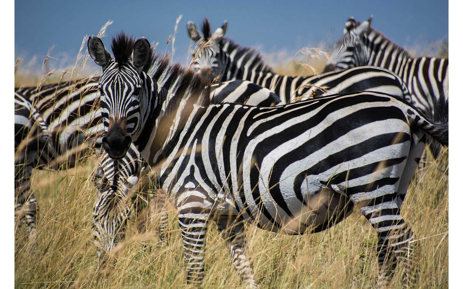 Zebras during the great migration