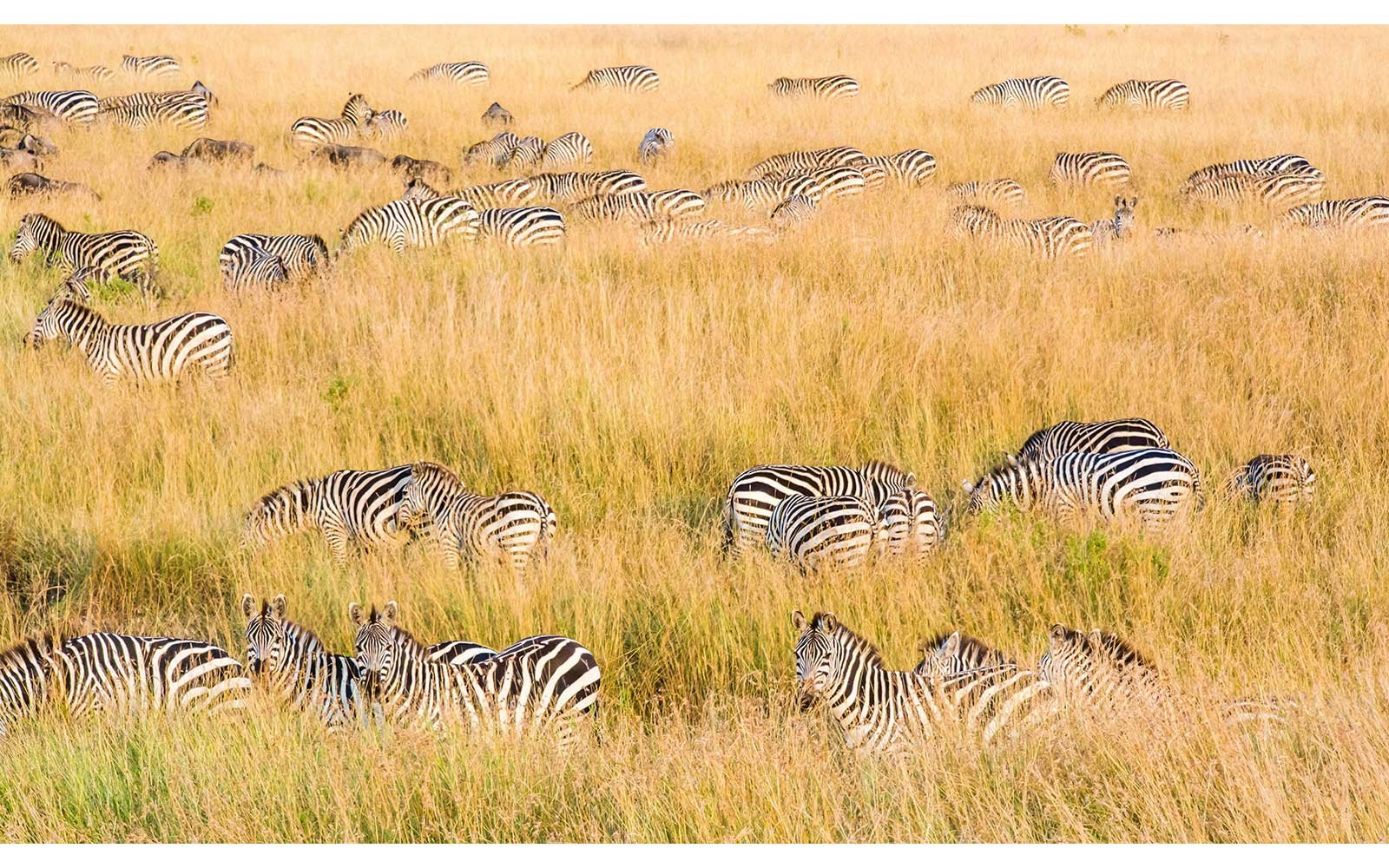 Zebras on the plains in Kenya