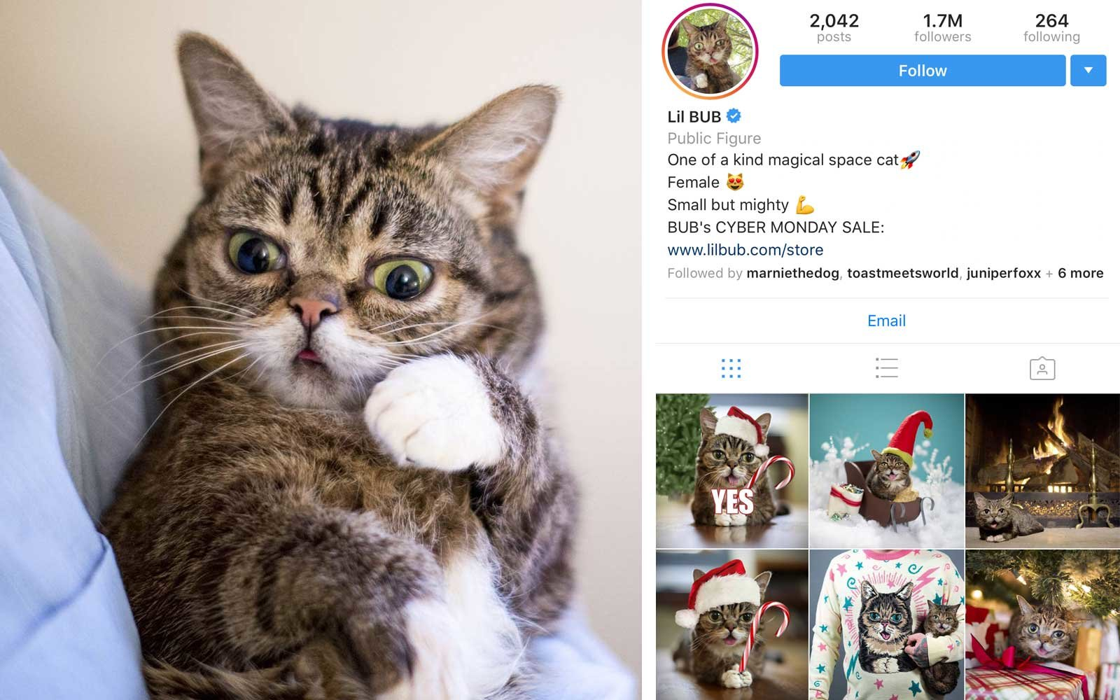 Lil Bub (@iamlilbub) - Cat, US - 1.6M+ Followers