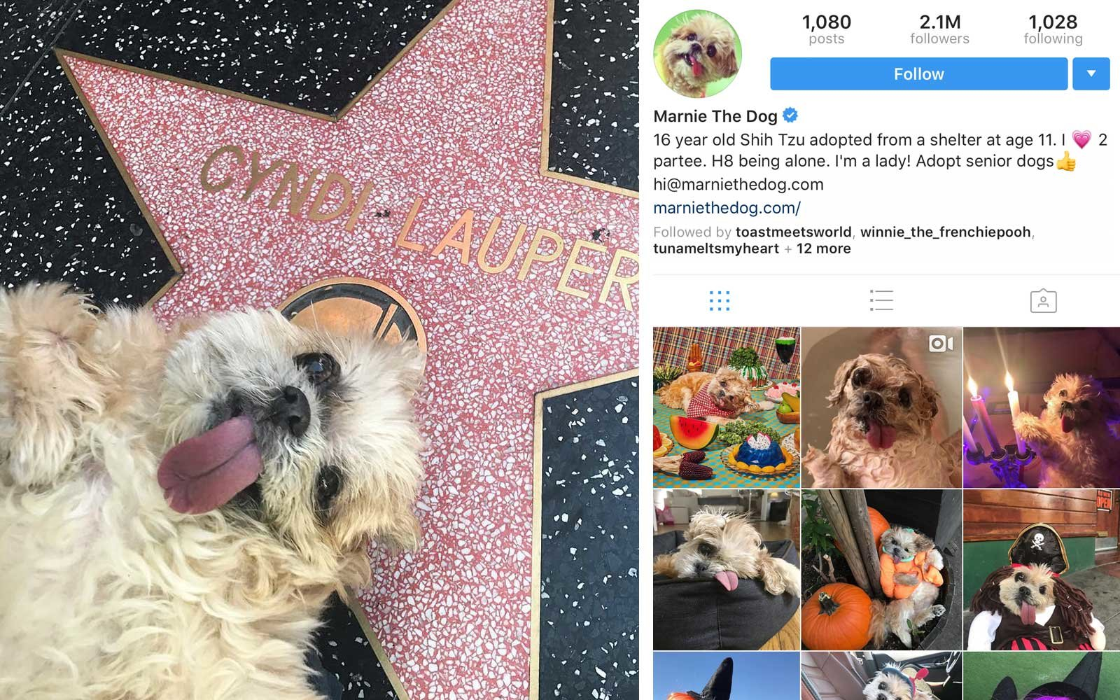 Marnie the Dog (@marniethedog) - Shih Tzu, US - 2.1M Followers
