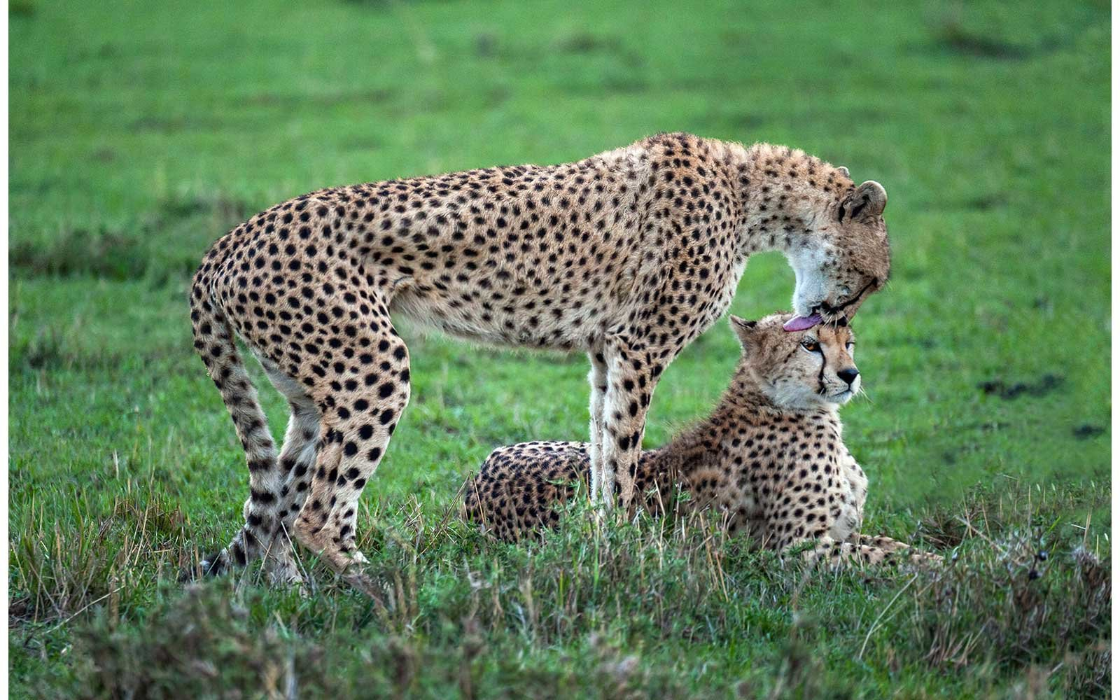 Cheetahs on the Masai Mara