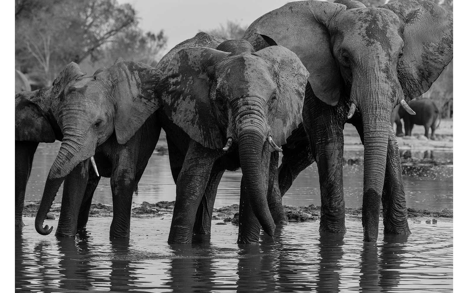 Elephants in Zimbabwe