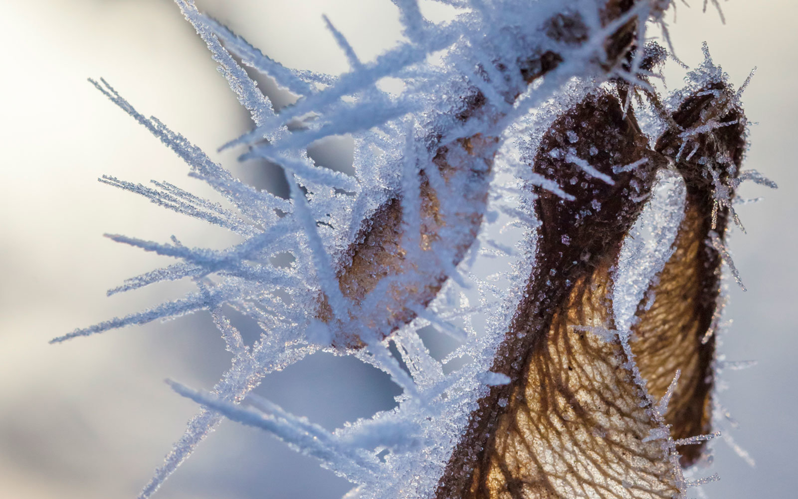 Sycamore Seed Coated in Hoar Frost, Peak District National Park, UK