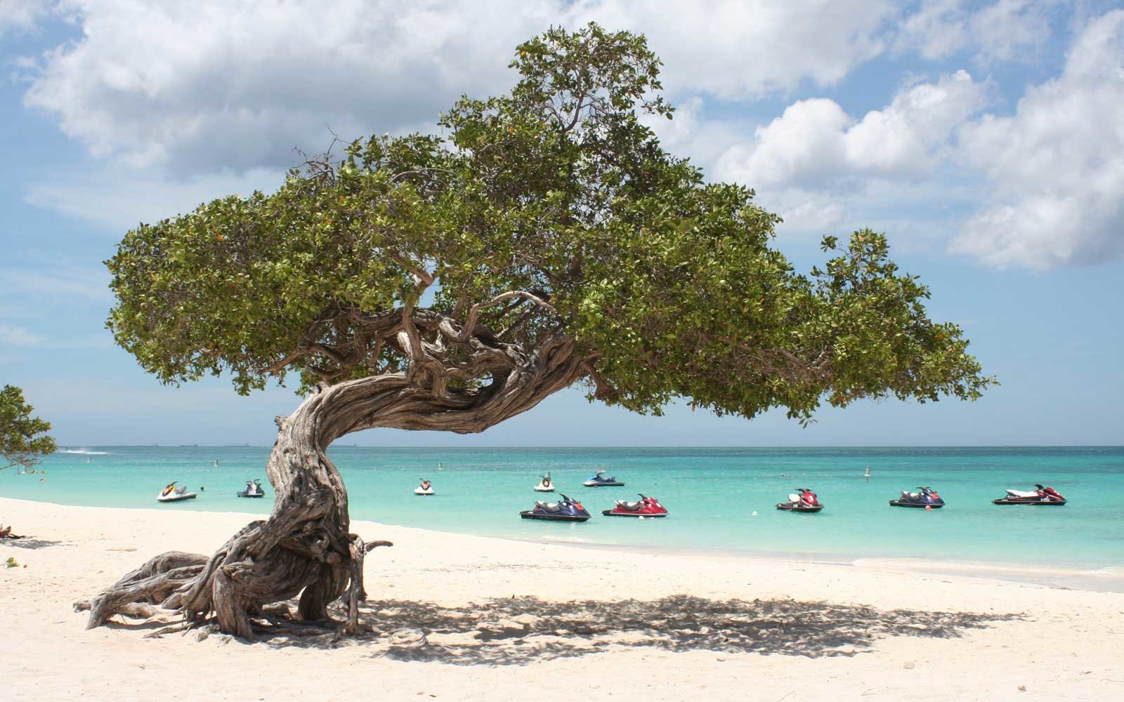 A divi tree at Eagle Beach in Aruba