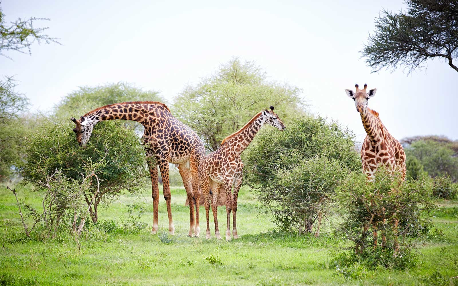 Giraffes and young in the Tarangire National Park