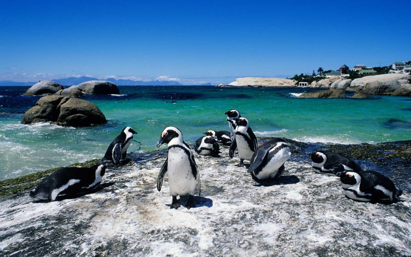 Colony of Penguins on Boulder Beach, Simonstown, South Africa