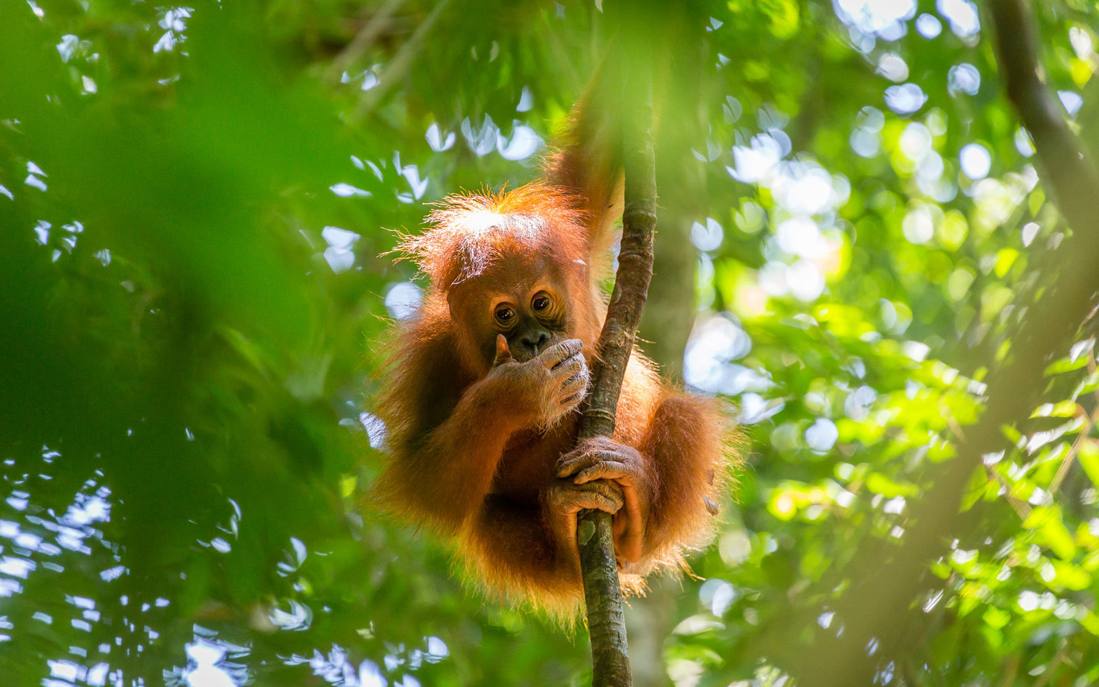 Orangutan, Gunung Leuser National Park, Sumatran Rainforest, Indonesia