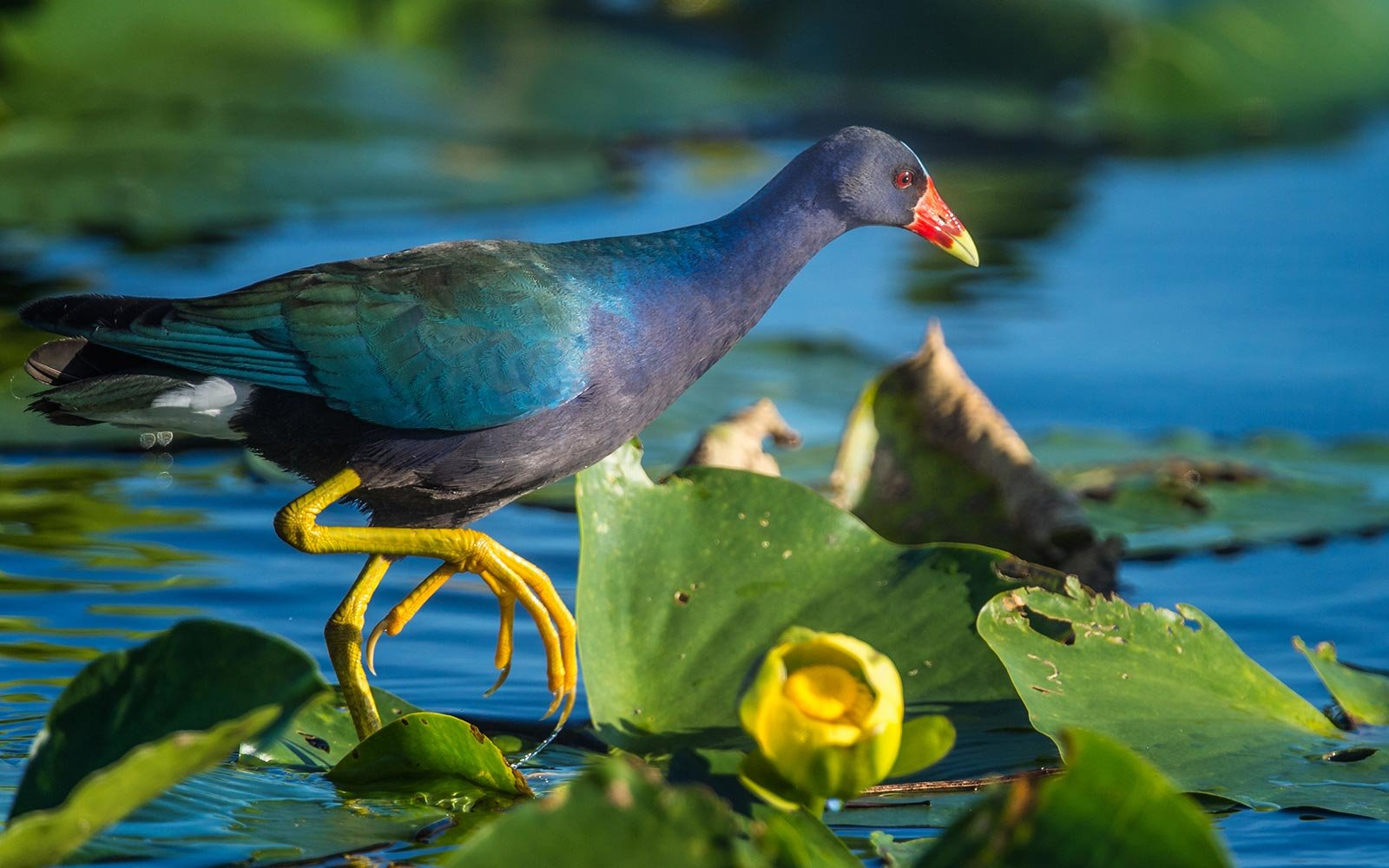 Fort Meyers Florida Bird Watching Purple Gallinule