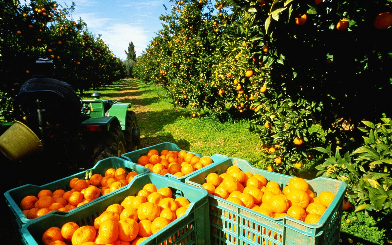 Sicily Citrus Grove Harvest