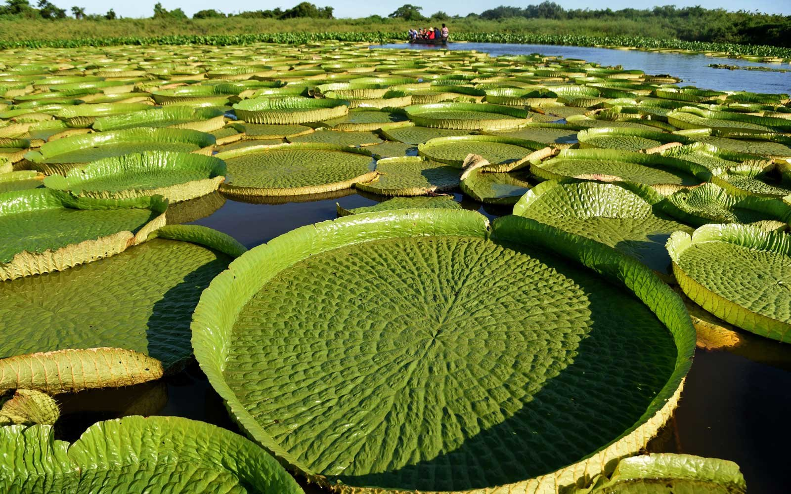 paraguays giant lily pads magically reappeared after