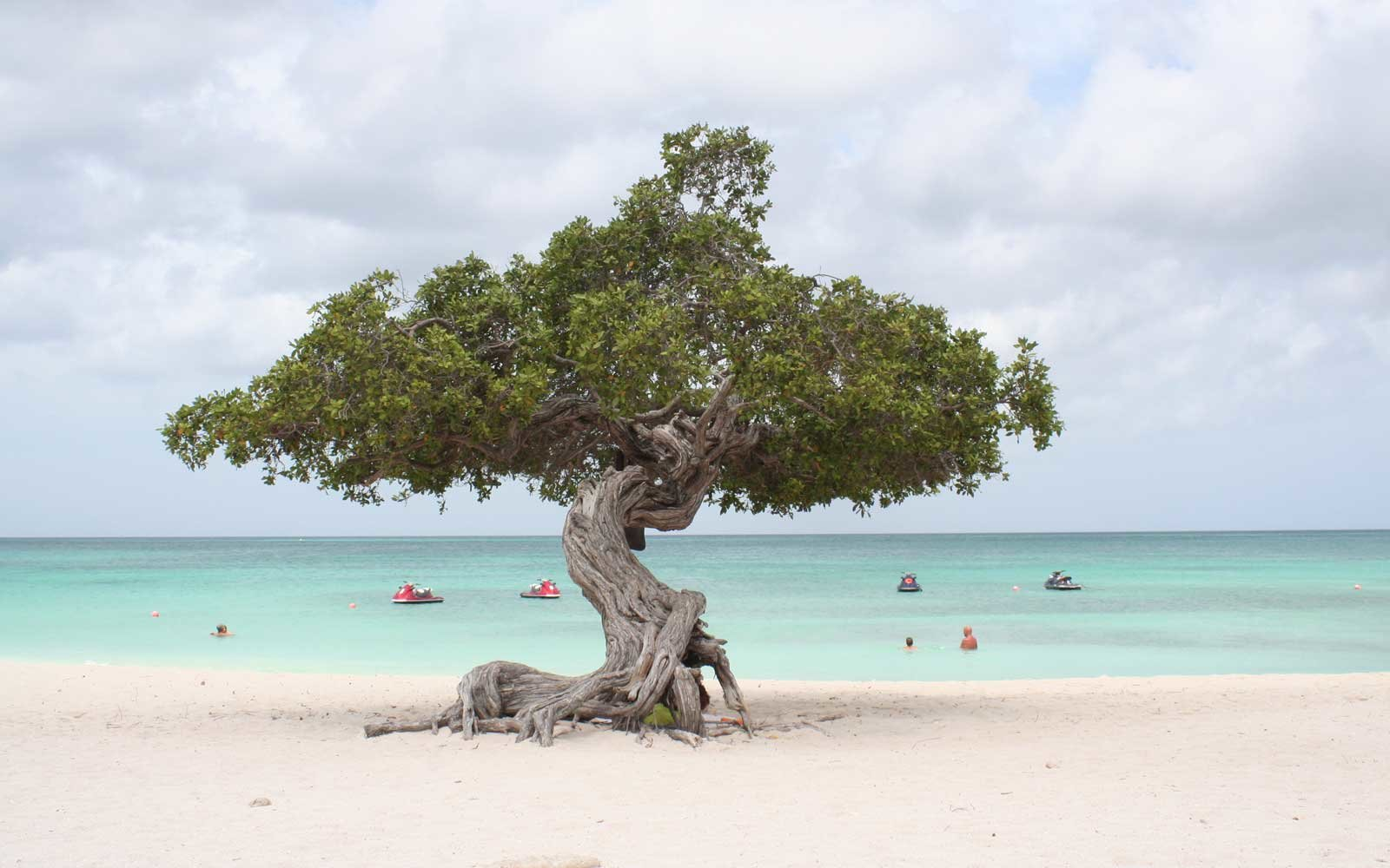 Divy tree on Eagle Beach in Aruba