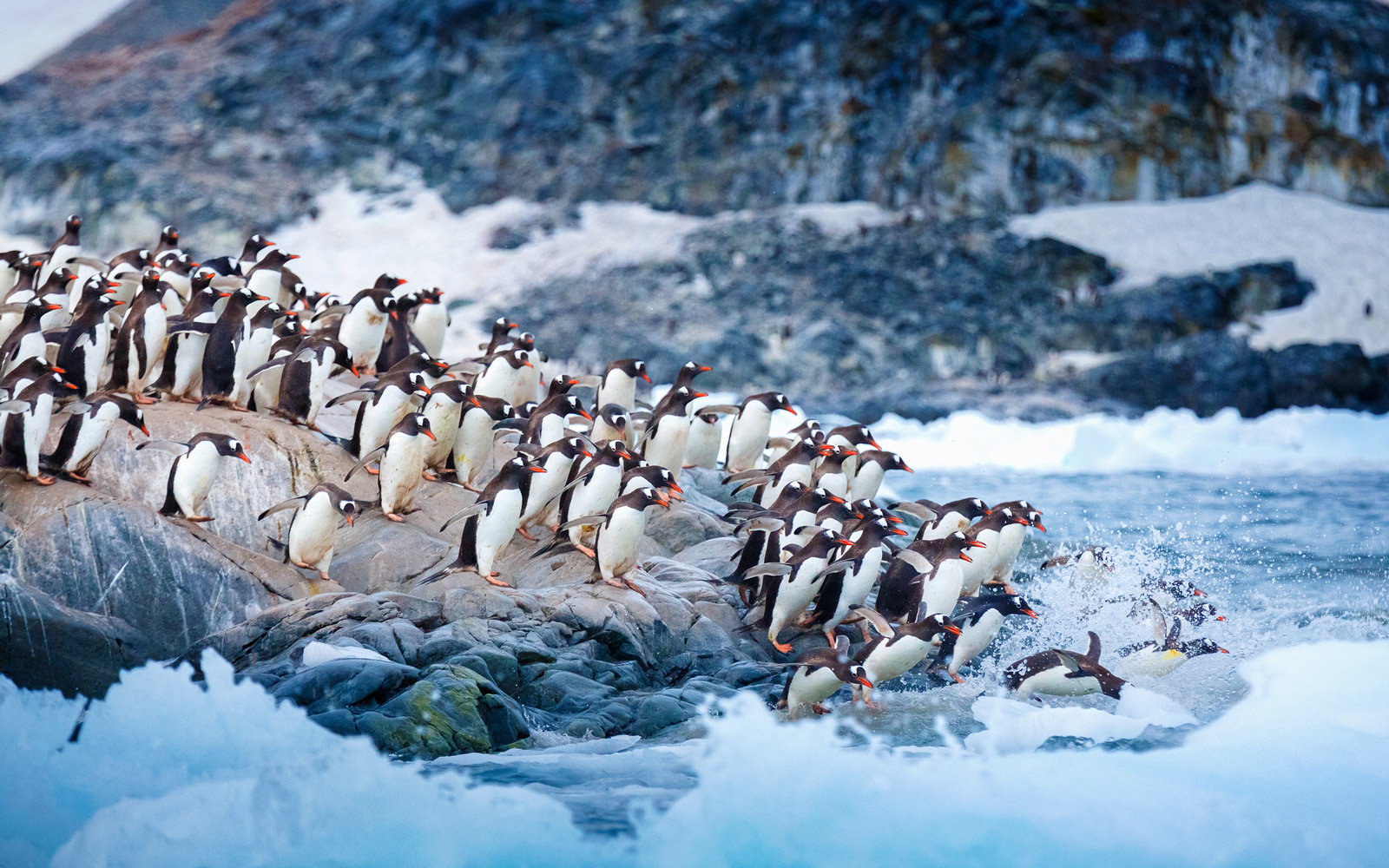 A large group of Gentoo penguins rush into the water. Antarctica.