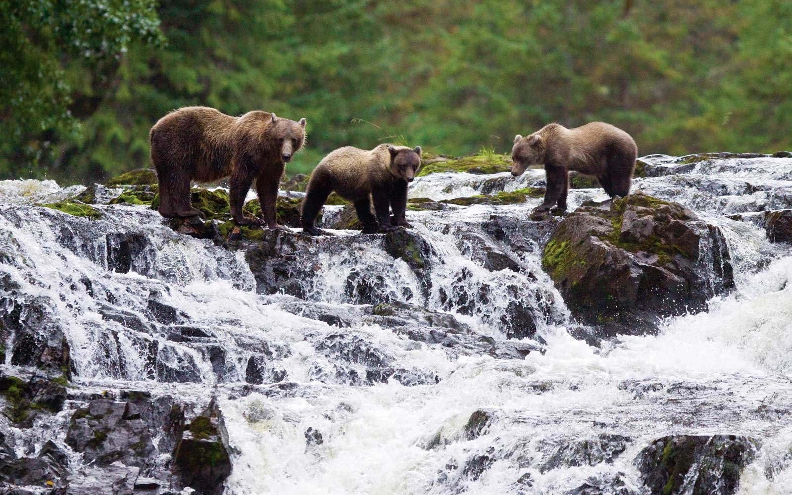 Brown bears in southeast alaska