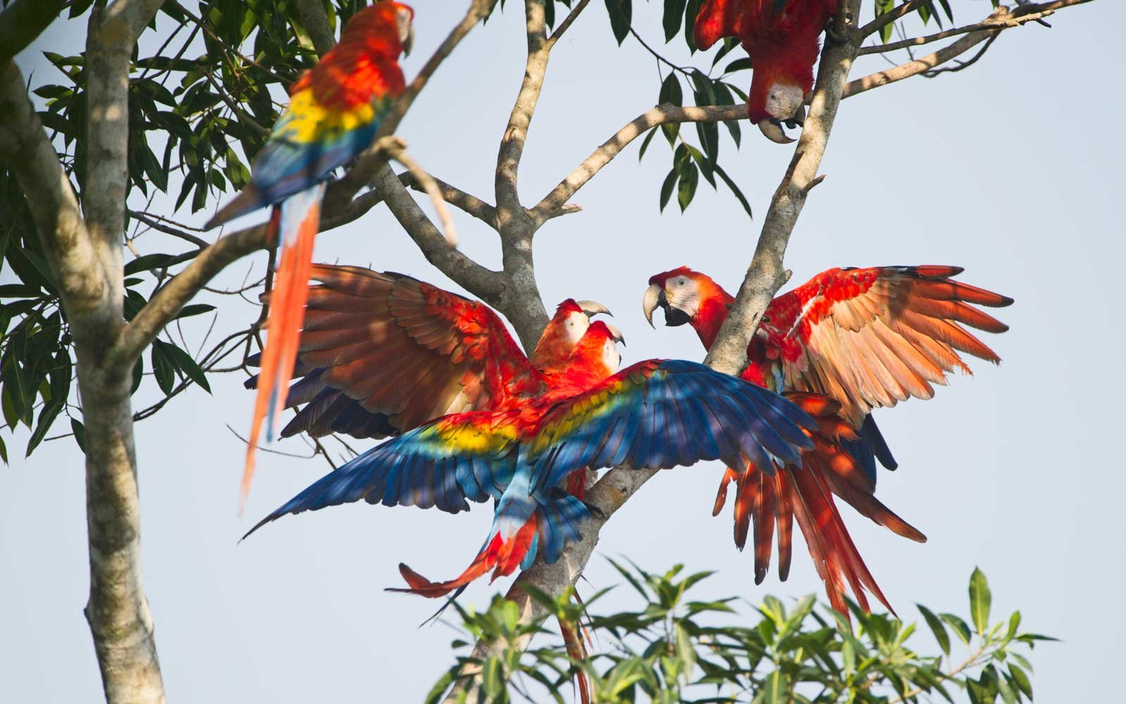 Scarlet Macaw Ara macao Tambopata, Amazon Rainforest, Peru