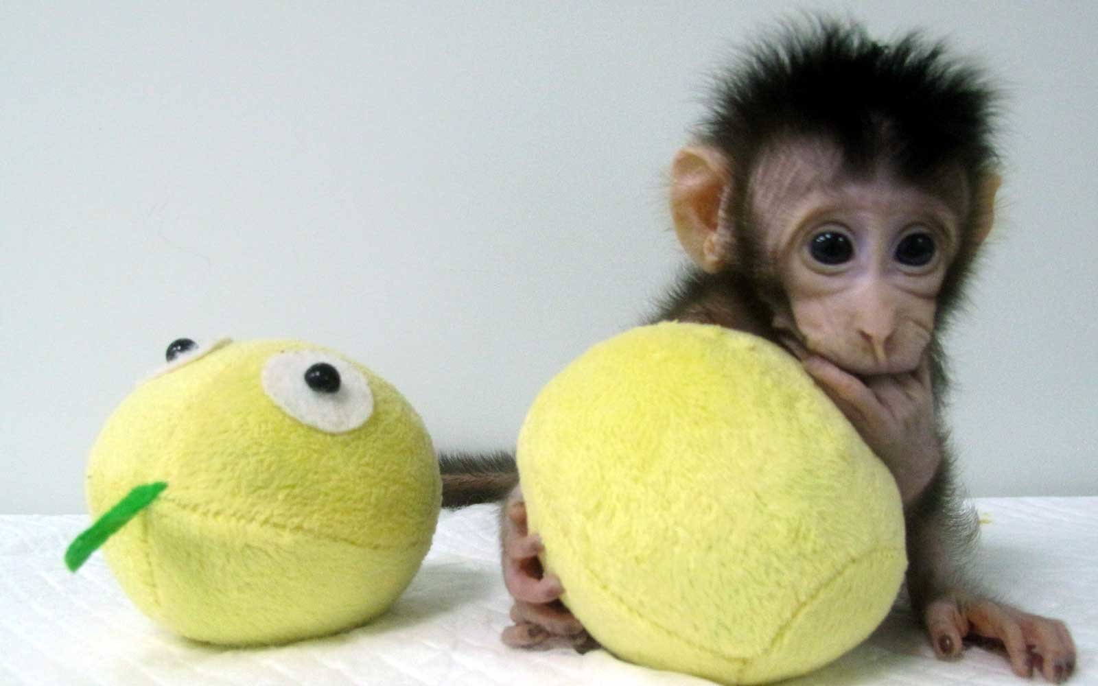 Cloned Monkeys Frolic Together After Landmark Procedure