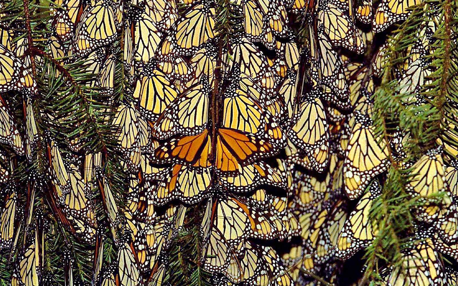 Monarch butterflies in Valle de Bravo, Mexico