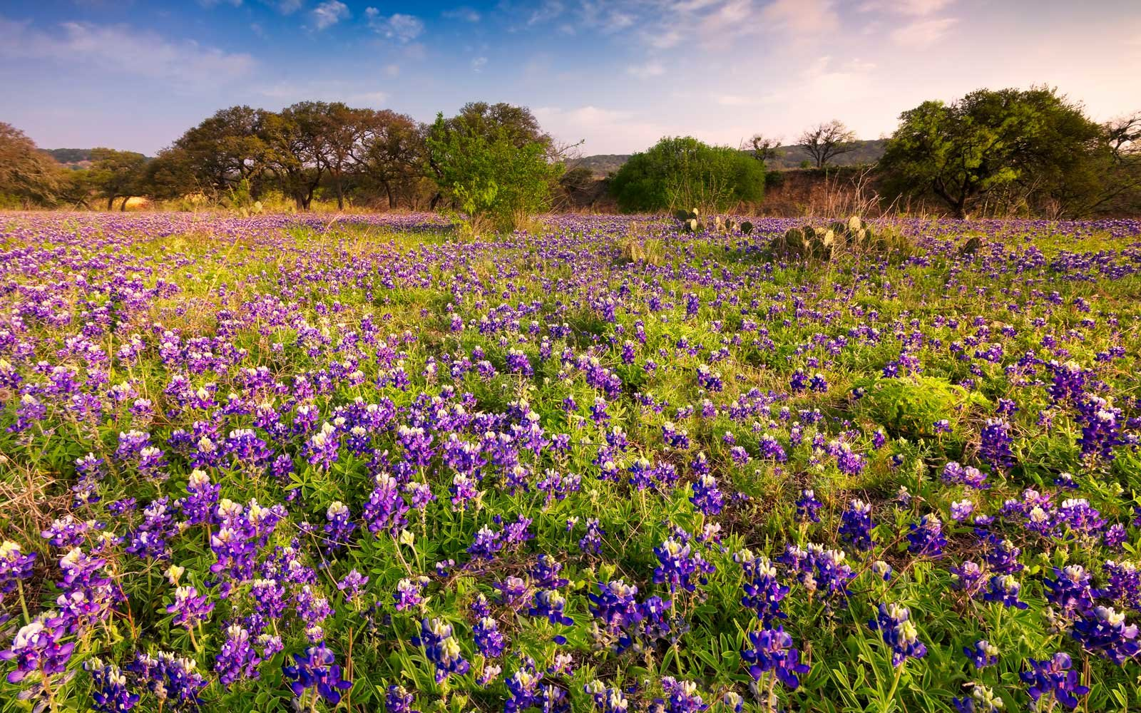 Bluebonnets field in the Texas Hill Country