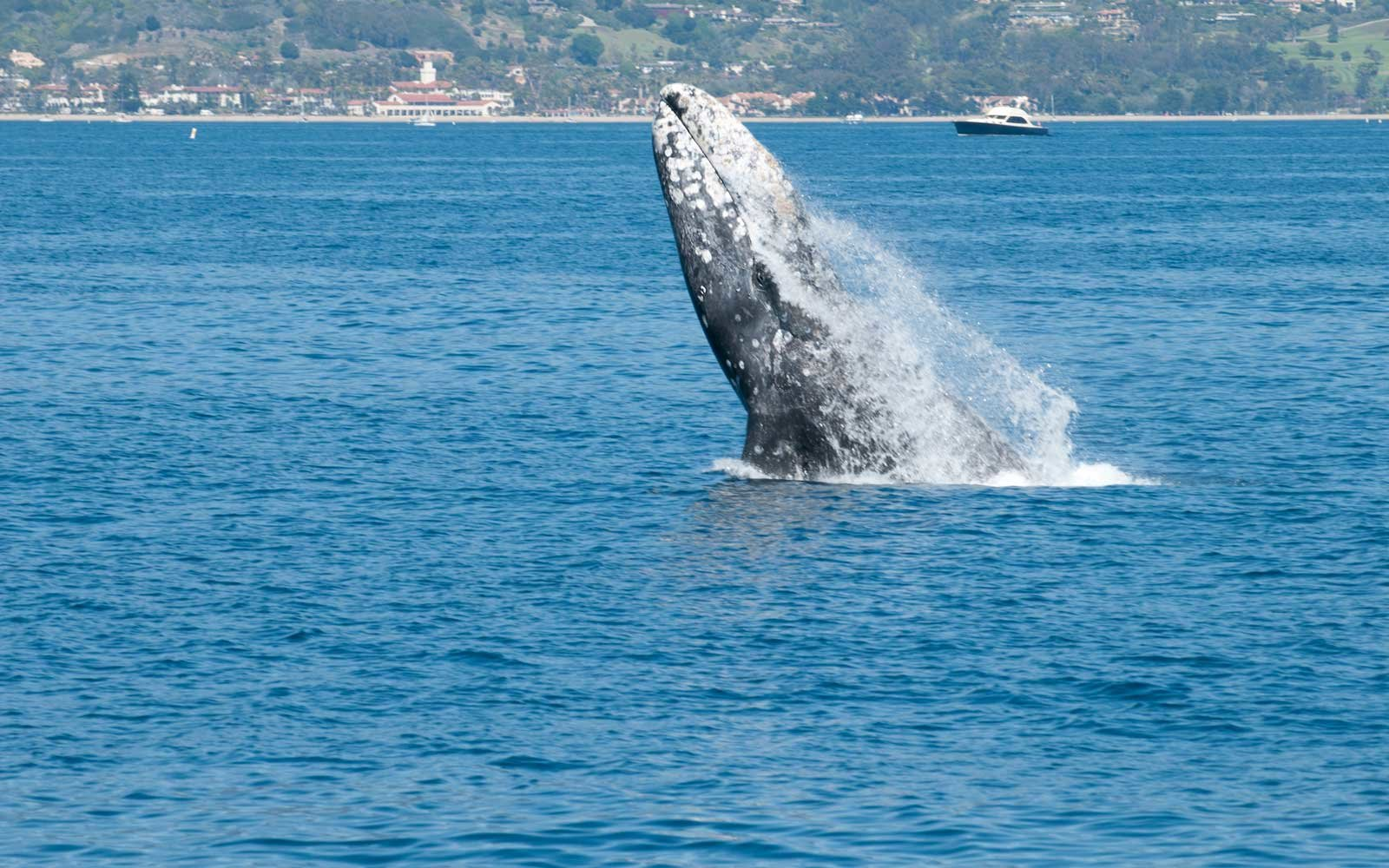 Pacific Gray Whale near Santa Barbara, California
