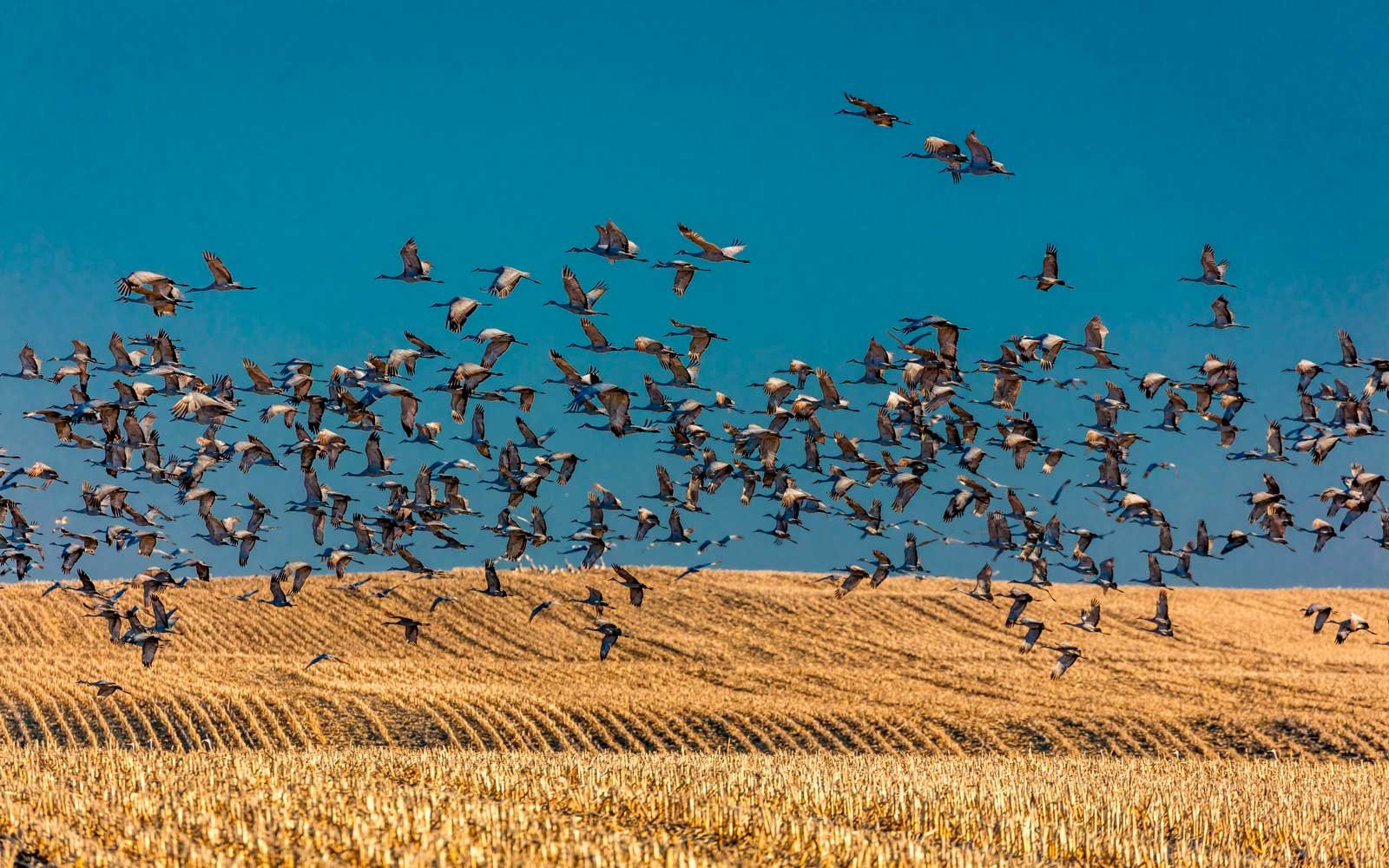 Sandhill cranes take flight over cornfield at sunrise, Platte River, near Grand Island, Nebraska